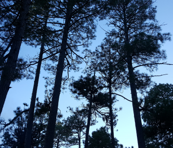 Forest Look Up Sky Through the Trees Ponderosa Pine Trees Blue Sky Tree Silhouette sparklewithsara